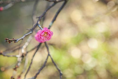 One single pink blossom flowering in winter