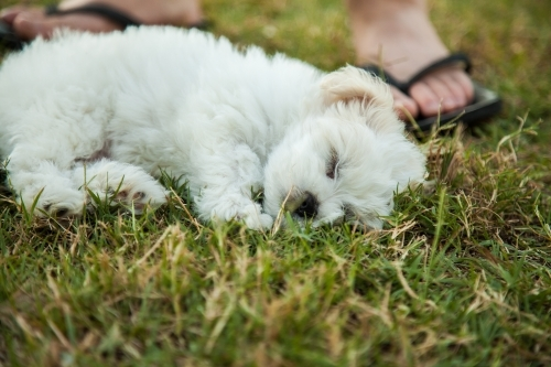 Small fluffy white puppy sleeping on the grass with feet and thongs behind