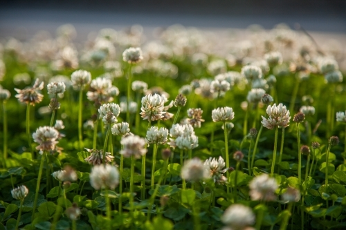 Patch of flowering clover by the roadside