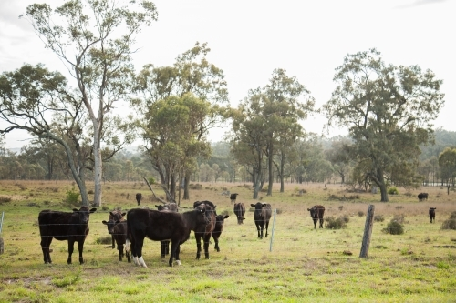Black cow escaped from the paddock standing near its herd
