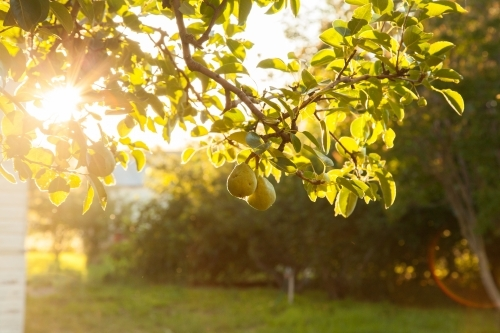 Sun ray shining through leaves of a pear tree with fruit