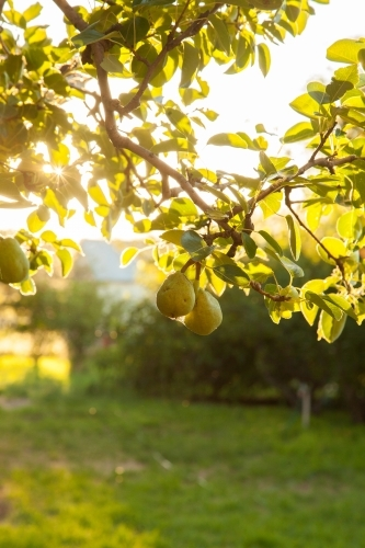 Sunlight shining through leaves of a pear tree with fruit