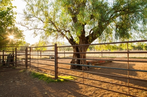 Sunlight shining through peppercorn tree in cattle yards on farm
