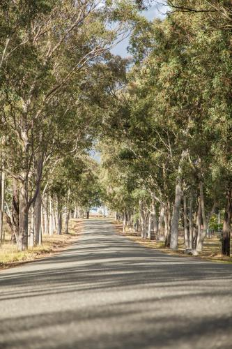Aisle of old gum trees beside an unmarked road