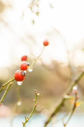 Water droplet dripping from red rose hip on overcast morning