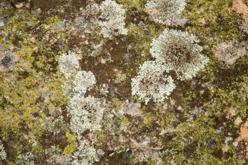 Green and grey lichen growing over a rock