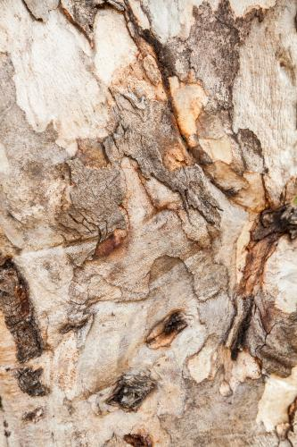 Close up of rough textured bark and trunk of a gum tree
