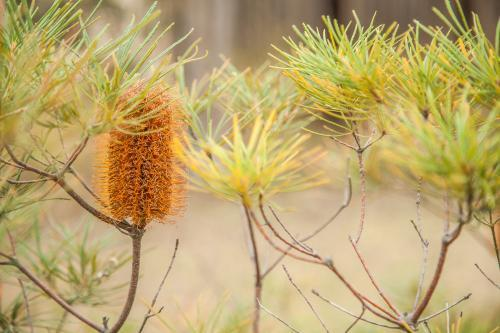 One yellow orange banksia flower on an overcast morning