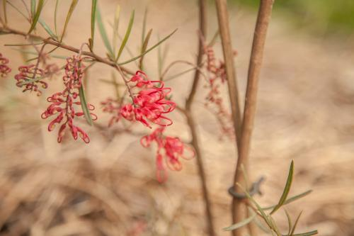Small grevillea flowers on a young bush in the garden