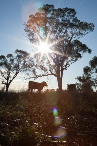 Two calves and tree in paddock silhouetted against rising sun rays