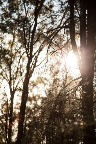 Sunlight shining through she-oak casuarina trees in a forest