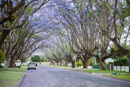 Flowering jacaranda trees arch over a suburban street
