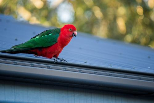 Male King Parrot sitting on the gutter of a corrugated tin roof