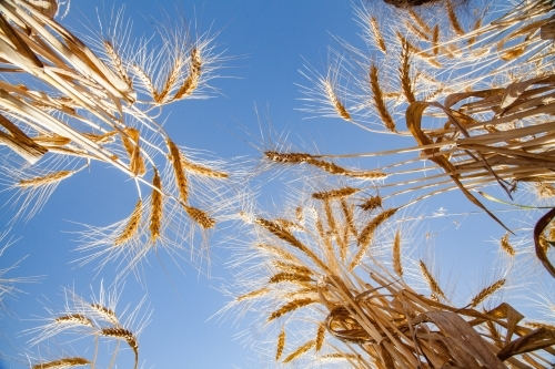 Looking straight up at bearded wheat seed heads in a farm paddock