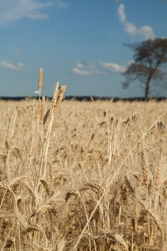 Crop of wheat growing on a country farm in the Hunter Valley