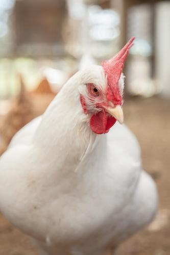 Close up portrait of a large white leghorn laying hen