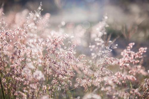 Fluffy pink grass covered in dew in the morning light