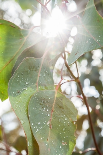 Sunlight shining off droplets of water on large gum leaves