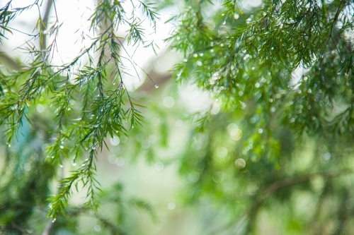 Green leaves of a native melaleuca bush sparkling with rain water