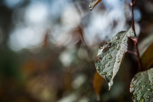 Raindrops on leaves of an ornamental plum tree with copy space