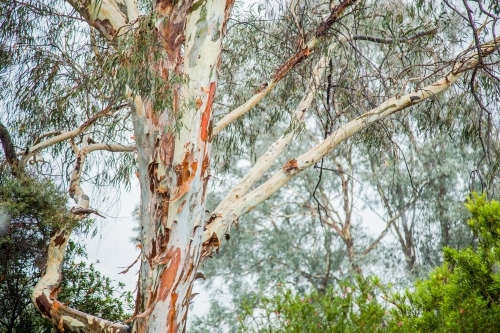 White gum tree with coloured bark in the rain