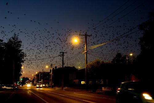 Bats flying over the main street of town at night