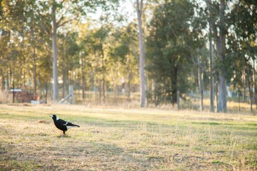 Magpie sitting on the grass in a paddock in the morning light