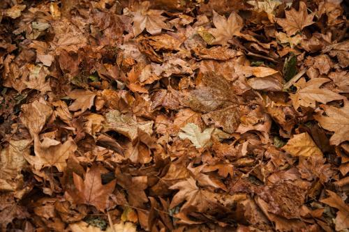 Brown and dried autumn leaves in a pile