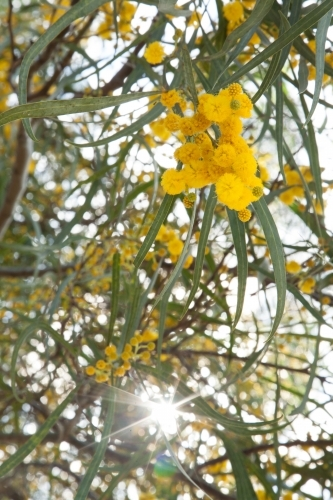 Sunrays shining through leaves and golden wattle in spring