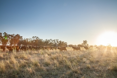 Distant herd of cattle run through grassy paddock at sunset