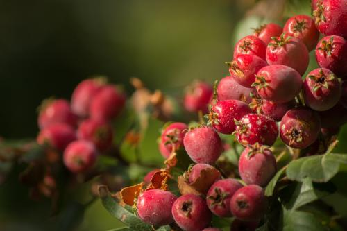 Close up of red berries