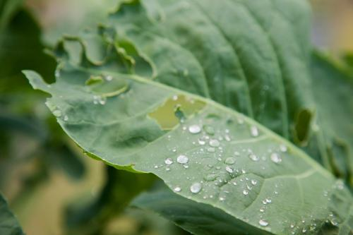 Broccoli leaf wet with raindrops