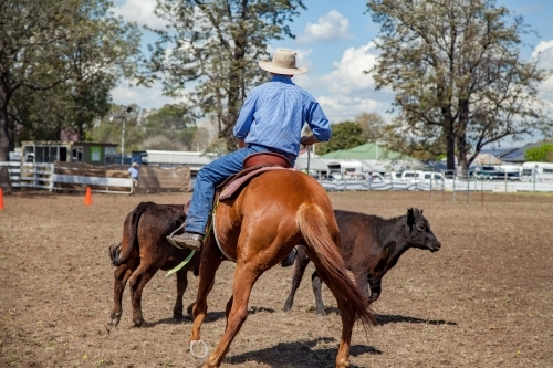 Rider competing in horse and cattle event at local show