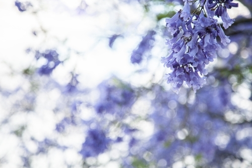 Purple flowers of a Jacaranda tree with copy space