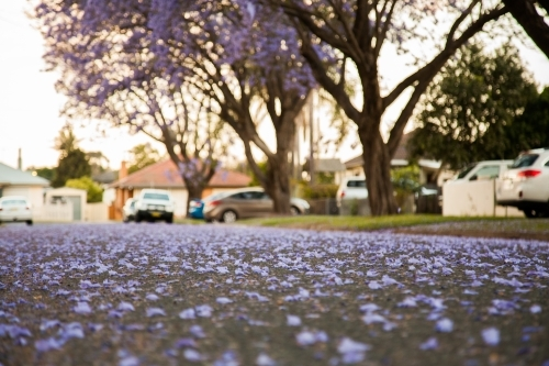 Purple jacaranda blossoms covering a suburban road
