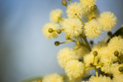 close up of pale gold balls of wattle
