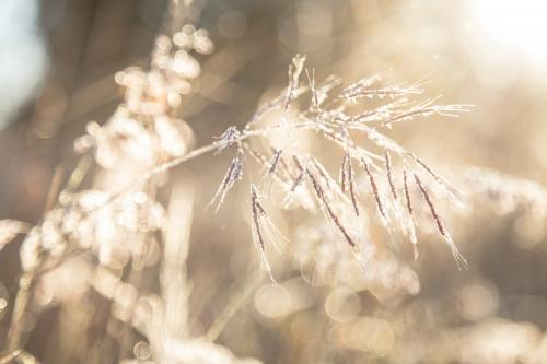 Sunlight shining off a frosty seed head