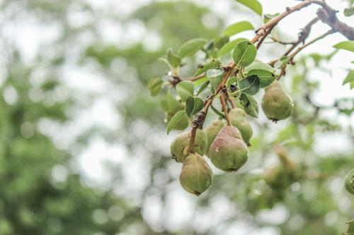 Pears growing on a bough of a pear tree