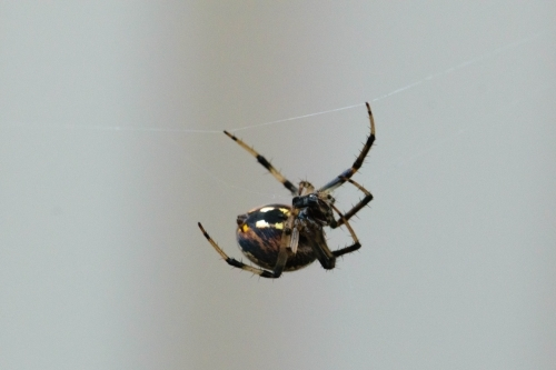 Close up of a black and yellow spider climbing on a spider web