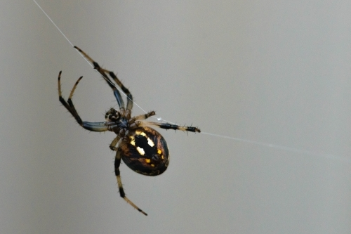 Close up of a Black and yellow spider handing on a strand of web