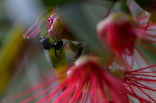 Close up of a black ant on a bottlebrush flower