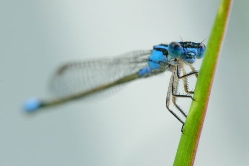 Close up of a blue damselfly sitting on a green leaf