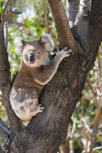 Close up of a koala sitting in the fork of a tree.