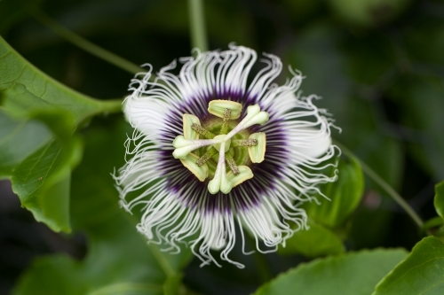 Close up of a passionfruit flower