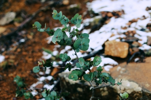 Close up of a plant in front of blurred background of rocks and snow
