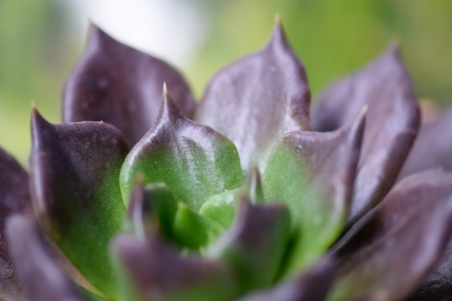 Close up of a purple and green succulent with a green background