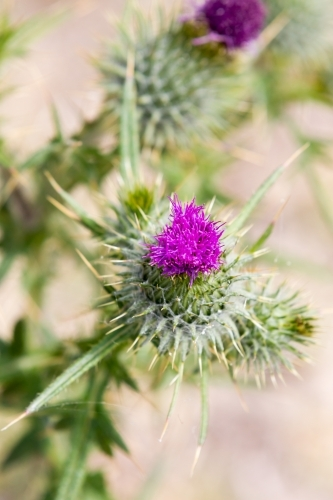 Close up of a Purple scotch thistle or Wooly Thistle.  Cirsium eriophorum