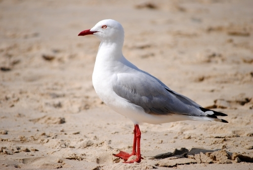 Close up of a seagull on the beach