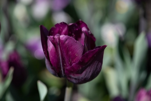 Close up of a single purple tulip with a green background