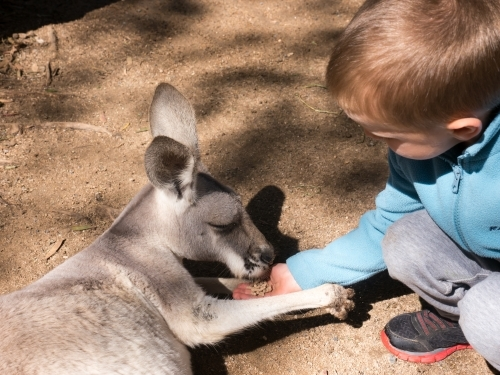 Close-up of a small boy hand feeding a grey kangaroo